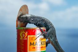 Redonda ground lizard 6064 EM.jpg