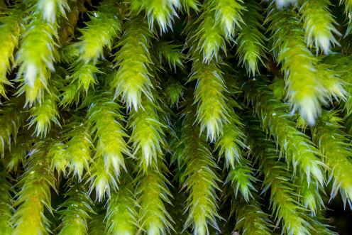 Sphagnum moss 1627 EM.jpg
