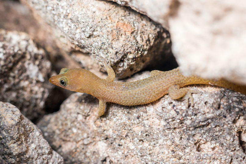 Redonda dwarf gecko  9648 EM.jpg