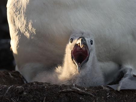 EM214686HR Bullers Albatross Chick.jpg