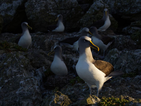 EM214549HR Bullers Albatross.jpg