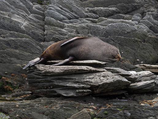 New Zealand fur seal 290933 EdMarsha