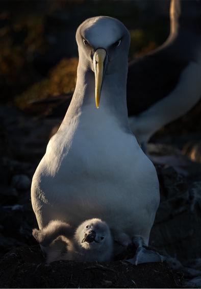 EM214584HR Bullers Albatross.jpg