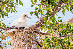 Red-footed booby 5769 EM.jpg