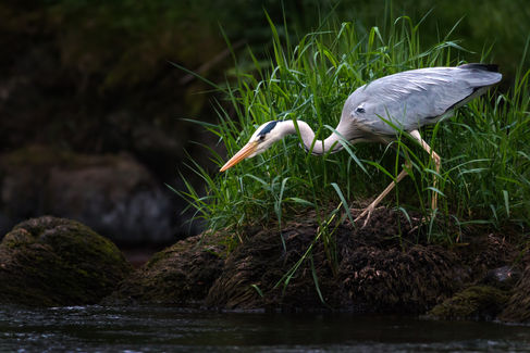 Grey Heron  2885 EM.jpg