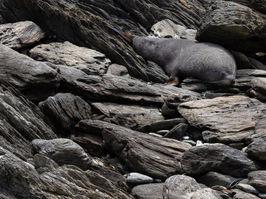 Zealand fur seal 291196 EdMarshall.jpg