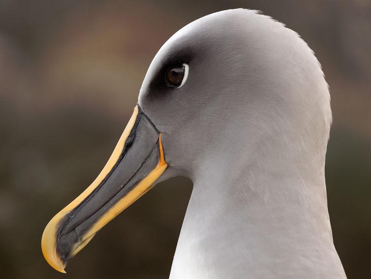 EM214377HR Bullers Albatross.jpg
