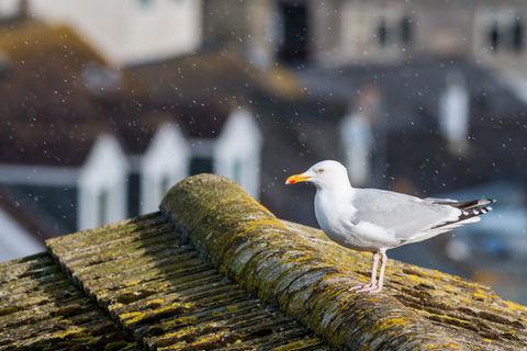 Herring gull 7630 EM.jpg