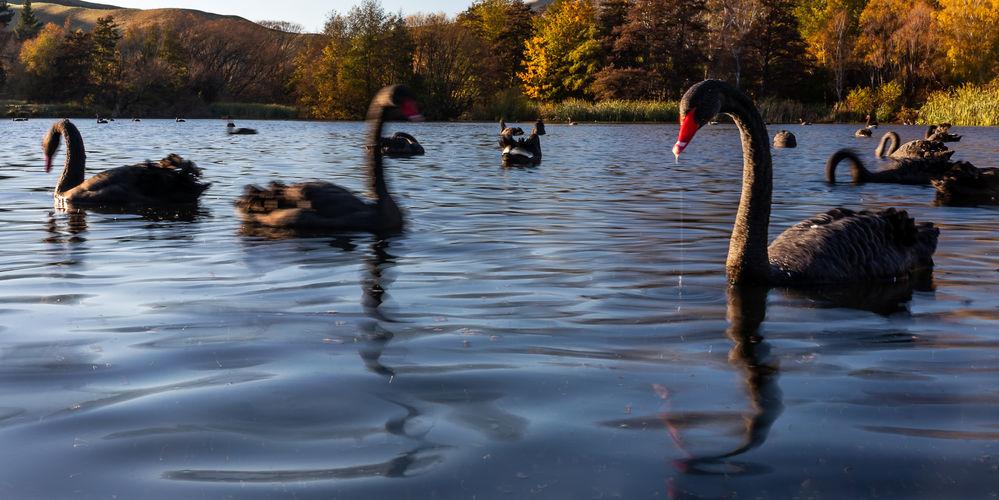 black swans 4297 EM.jpg