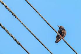 European starling 5206 EM.jpg