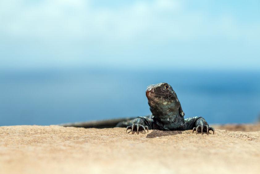Redonda Ground lizard  6066 EM.jpg