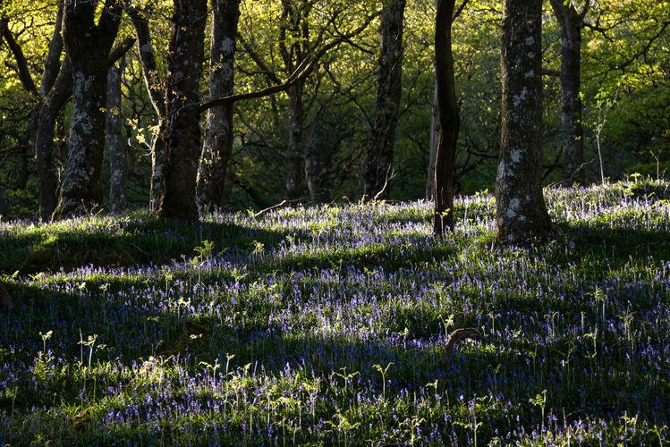 Bluebell wood 2249 EM.jpg