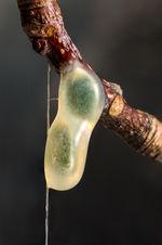 Mistletoe 1049 EM.jpg