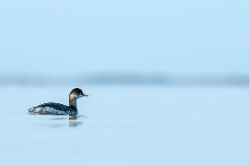 Black-necked grebe  9975 EM.jpg