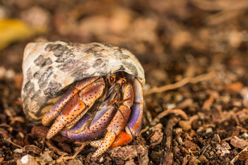 Caribbean hermit crab 2359 EM.jpg