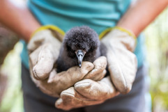 Black petrel chick 9036-2 EM.jpg