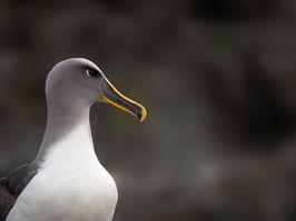 EM214336HR Bullers Albatross.jpg