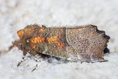 The Herald moth 1541 EM.jpg
