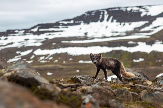 Arctic Fox 4882-2 EM.jpg