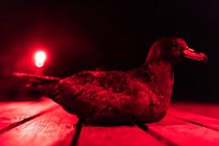 Black petrel night 8738 EM.jpg