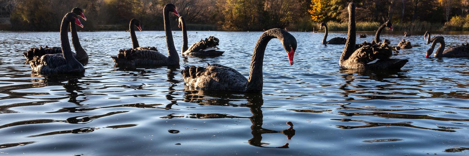 black swans 4139 EM.jpg