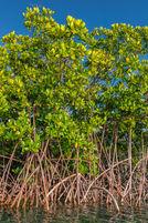 Red Mangrove 2137 EM.jpg