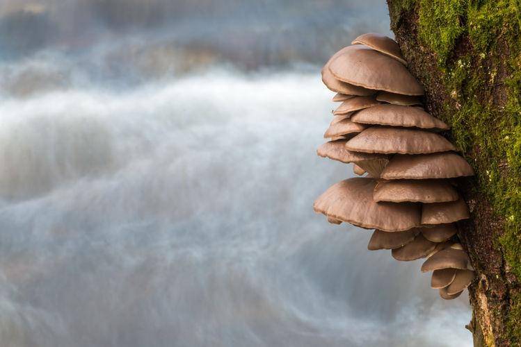 Oyster mushroom  9511 EM.jpg