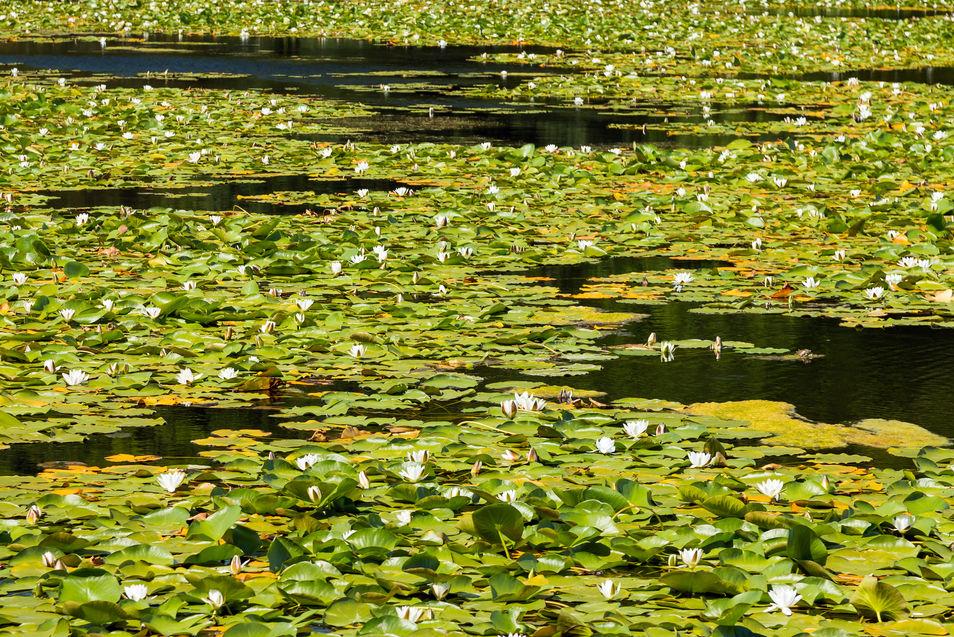 White Water Lily 7534 EM.jpg