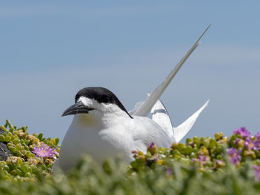 White-fronted tern 162291 EdMarshall.jpg