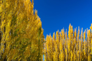 Poplar trees 3958 EM.jpg