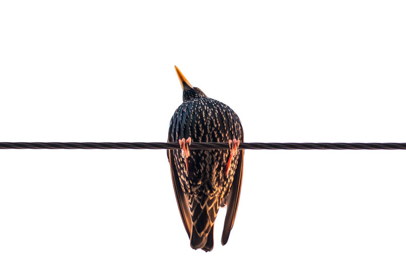European starling 5277 EM.jpg