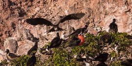 Magnificent Frigatebirds 3322 EM.jpg