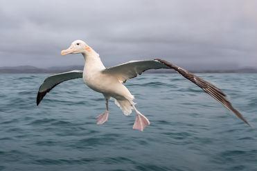 Gibsons Wandering Albatross 2286 EM.jpg