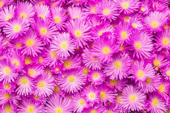 Mesembryanthemum 1686 EM.jpg