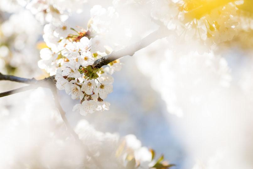 Cherry blossom 0203 EM.jpg
