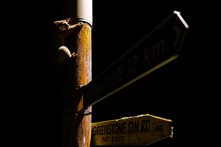 possum on street sign 4760 EM.jpg