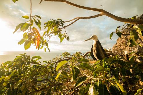 Magnificent Frigatebird 9007 EM.jpg