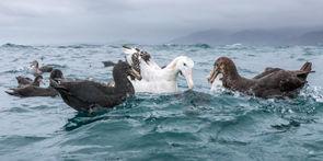 Gibsons Wandering Albatross and Giant Pe