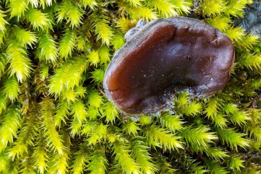 Jelly ear fungus  1631 EM.jpg