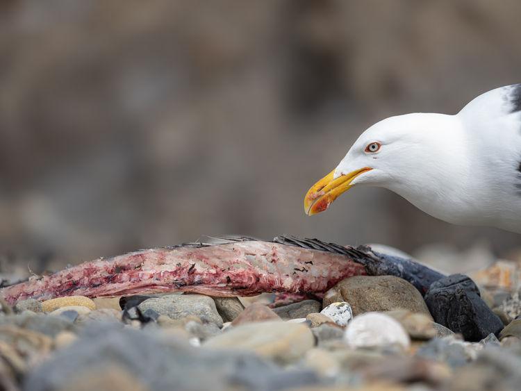 Southern Black Back Gull 100409-2 EdMars