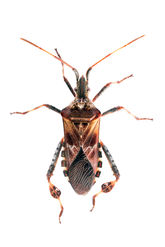 Western Conifer Seed Bug 9020 EM.jpg