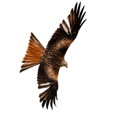 Red kite 0003 EM.jpg