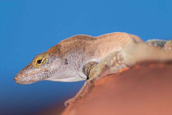 Redonda tree lizard 7275 EM.jpg