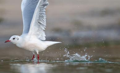 Black-headed gull 9810 EM.jpg