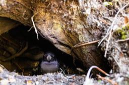Petrel in burrow 8772 EM.jpg