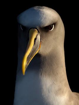 EM214539HR Bullers Albatross.jpg