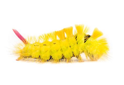 Pale Tussock Moth  caterpillar 8106 EM.j