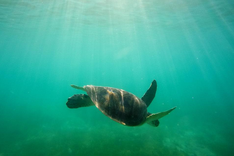 Green sea turtle 0149318-2 EM.jpg
