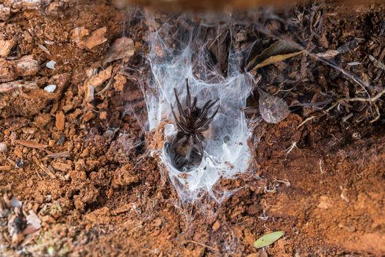 banded tunnel web spider 8453 EM.jpg