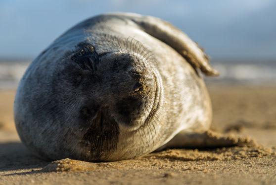 Atlantic grey seal 9351 EM.jpg